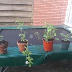 In mijn tuin uitgezaaide vrouwenmantel en leycesteria