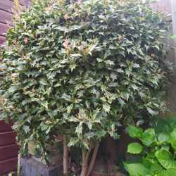 Hulst boomop stam (Ilex aquifolium)