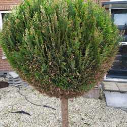 2x conifeer boompje bol op stam