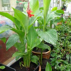 Canna planten 6,00 euro per plant