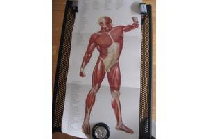 anatomieplaten met musculatuur-aanduiding