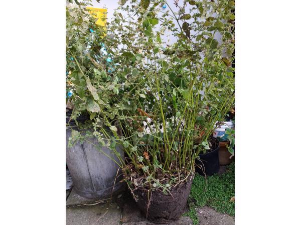 Plant Citroenmelisse